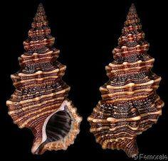 Cerithium suturale  Philippi, R.A., 1849 Sutured Cerith Shell size 25 - 35 mm Philippines - Fiji
