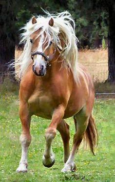 Haflinger Stallion Amberg