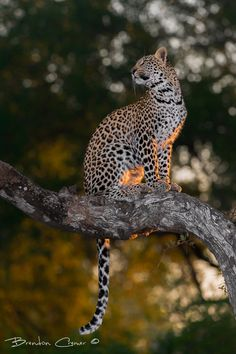 Animal Kingdom, Posing Leopard by Brendon Cremer