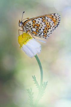 Melitaea Didyma by Carlos  Barriuso on 500px