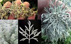 What is Wormwood? and 10 Scientific Health Benefits of Wormwood Wormwood is the common name for Artemisia absinthium, the plant whose aromatic oil is used to. Insect Repellent, Korean Thanksgiving, Artemisia Absinthium, Korean Rice Cake, Dry Leaf, Water Well, Companion Planting, Beer Brewing