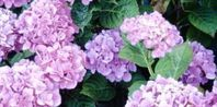 How to grow dark purple Hydrangea Plants