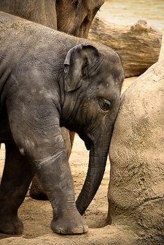 baby elephant. Help IvoryForElephants.org gain media$ When you like IvoryForElephants.org on FB and share.  Enable others to get informed! #ivoryforelephants #stoppoaching #elephants for #ivory #killthetrade #animals #babyelephants #animalbabies