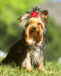 yorkie- love the smirk on this ones face!  Looks like my Maggie May