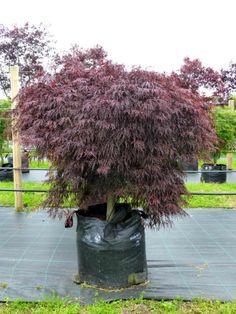 34 Best Japanese Maples images in 2013 | Acer palmatum