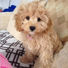 Cavapoo ~ Cavalier King Charles Spaniel/Poodle Mix