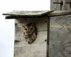 Some common owl species are ferocious predators of mice and other rodent pests, so it makes sense to invite them into the neighborhood by installing an owl house. Read this article for tips on owl house design.