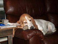 My lazy spoiled basset hound Haggard. I love him