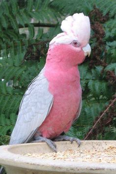 Australian Galah Cockatoo. I've wanted one of these forever!