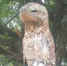 This extremely creepy looking bird was found in Venezuela. It's called the great Potoo and it's real. It's rare to see one in broad daylight. Great Potoo, Owl Pictures, Pretty Birds, Zoology, Prehistoric, Animal Kingdom, Cute Animals, Creatures, Brazil
