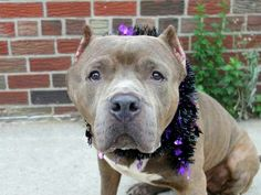 TO BE DESTROYED 10/17/14 Brooklyn Center -P  My name is BRUNO. My Animal ID # is A1017028. ***$150 DONATION to NEW HOPE RESCUE that pulls!!*** I am a male gr brindle and white pit bull. The shelter thinks I am about 3 YEARS old.  I came in the shelter as a STRAY on 10/10/2014 from NY 11221, owner surrender reason stated was STRAY.https://m.facebook.com/photo.php?fbid=887714461241434&id=152876678058553&set=a.611290788883804.1073741851.152876678058553&source=49