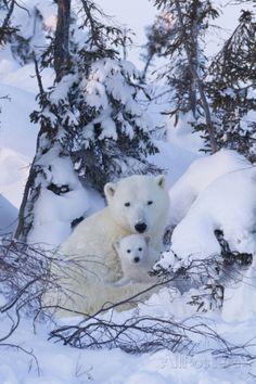 Polar Bear (Ursus Maritimus) and Cubs Photographic Print by David Jenkins at AllPosters.com