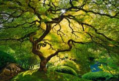 Japanese Maple Tree, Oregon, USA Photo by Peter Lik - looks very Fangorn - ish
