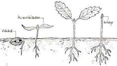 Fruitplanten vermeerderen: Kiwi en perzik zijn gemakkelijk te zaaien. Plantenvermeerdering met zaden.
