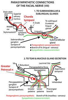 ophthalmic nerve v1 of the trigeminal nerve and its. Black Bedroom Furniture Sets. Home Design Ideas