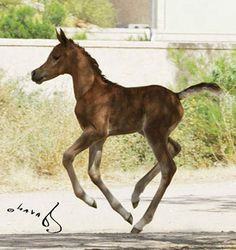 SWF Malika (Oresumido Feisul x Hadayyah) 2005 chestnut filly