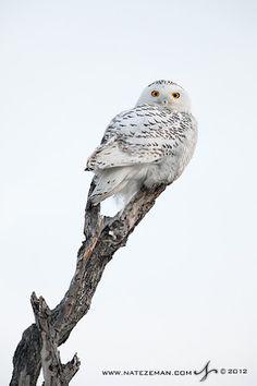 A Snowy Owl in Horicon Marsh, Wisconsin. Beautiful Owl, Animals Beautiful, Cute Animals, Animal Photography, Nature Photography, Ghost Photos, Snowy Owl, Pet Birds, Art Nature