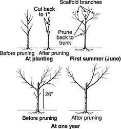 Peach Tree pruning guide ApplePear Pruning guide We bought three new peach trees this weekend to plant in our backyard AmberHH Planting Fruit Trees, Growing Fruit Trees, Fruit Plants, Growing Tree, Trees To Plant, Dwarf Fruit Trees, Veg Garden, Fruit Garden, Garden Trees
