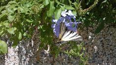 Podalirio butterfly