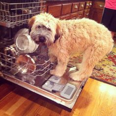Wheaten Terrier helping with the dishes