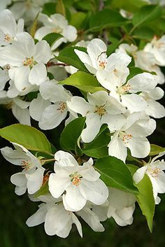 White Blossoms by Stephen Thomas