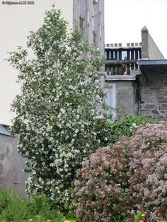 Eucryphia nymansensis - Leatherwood Location - In front of office and guest room (Pleaching) Garden Trees, Garden Plants, Small Ornamental Trees, Tree Stakes, Brest, Garden Spaces, Hedges, Garden Design, Cottage