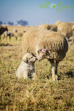 I have head that the sheepdog is raised with the sheep and taught to heard at the same time. This creates a lifelong bond with dog and sheep. If mankind was wiped form the earth sheepdogs would continue to herd the sheep.