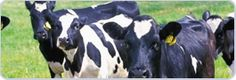 RFID Animal Tags - ID TECH Solutions offer the extensive line of cost effective RFID Animal Tags highly effecting for tracking the cattle or other wild animal.