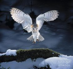 Barn Owl Landing by by Manfred Danegger and Photo Researchers