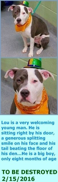 SAFE 2-16-2016 --- RETURNED 02/12/16 DESTRUCTIV --- SAFE 2-11-2016 --- Manhattan Center LOU – A1064264  MALE, WHITE / GRAY, AM PIT BULL TER MIX, 8 mos OWNER SUR – AVAILABLE, NO HOLD Reason MOVE2PRIVA Intake condition EXAM REQ Intake Date 02/02/2016 http://nycdogs.urgentpodr.org/lou-a1064264/