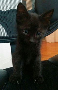 #Montreal ~ AVAILABLE FOR ADOPTION ♥ LUNA  Luna is a little lap cat and gets along well with her brothers and sisters. She's very inquisitive and not afraid of people. She's a medium-hair black kitten with beautiful red undertones.  Visit www.facebook.com/cause4paws for details