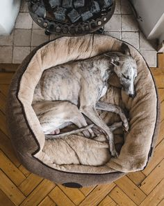 Whippets are good for both homes with yards and apartments. Beware, they think they are royal and you are the servant, but you'll get plenty of love. Whippet Puppies, Whippets, Dogs And Puppies, Funny Dogs, Cute Dogs, Dog Accessories, Dog Bed, Loki, Dog Training