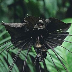 And then there are flowers that freak us out. Black bat flower FREAKY FLORA: Part 10 Strange Flowers and Plants Strange Flowers, Unusual Flowers, Rare Flowers, Black Flowers, Amazing Flowers, Black Orchid, Weird Plants, Unusual Plants, Rare Plants