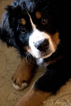 Bernese Mountain Dog puppy ... look at that faaace!