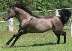 His real name is Rocky Steeldust, 2007 AQHA smoky grullo Foundation Stallion. His color is called smoky grullo (Dun on black) Quarter Horses, American Quarter Horse, Most Beautiful Horses, Pretty Horses, Animals Beautiful, Western Horse Saddles, Cowboy Horse, Horses And Dogs, Wild Horses