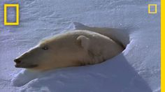 Polar Bear Mom and Cubs | National Geographic