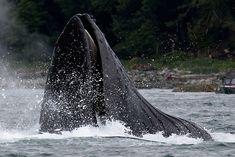 Humpback Whale - Juneau Alaska
