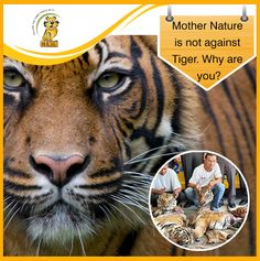 Mother Nature is not against Tiger. Over the last century, 3 tiger species have become extinct & the remaining 5 are now endangered. Stop tiger trade, support tiger conservation. Tiger Species, Tiger Conservation, Shelter Me, Animal Magic, Mother Nature, Extinct, Tigers, Animals, Cats