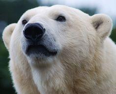 Polar bear ♥