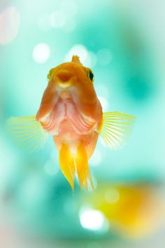 . Baby Animals, Cute Animals, Goldfish Pond, Underwater Creatures, Fish Ponds, Water Life, Creature Feature, Fish Art, Ocean Life