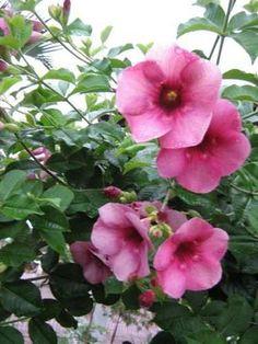 alamanda roxa