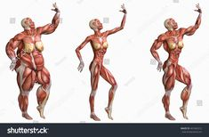 three shape of anatomical muscles women : over weight, thin and strong women isolated on white Human Muscle Anatomy, Human Anatomy Drawing, Anatomy Study, Body Reference, Anatomy Reference, Anatomy Sculpture, Human Body Parts, Anatomy Sketches, Anatomy For Artists