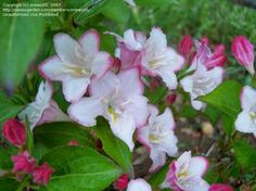 Carnaval Weigela white pink red flowers