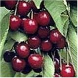 The English Morello Cherry is medium, red, and tart. The fruit is excellent for pies. The tree is self fertile, and also a good pollinizer. Performs well in areas of less chill, needing only 400 hours. Ripens late season. Shipped potted in soil about 3 and a half feet tall for best results when planted in yard or garden.