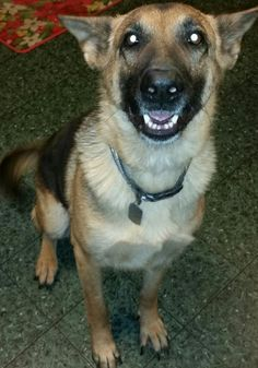 Meet Delilah(CL), a Petfinder adoptable German Shepherd Dog Dog | Raleigh, NC | You can fill out an adoption application online on our official website.COURTESY LISTING - Please...