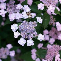 Hydrangea serrata 'Tiny Tuff Stuff' Purple This beauty has delicate flowers, and that makes it hard to call this one tough, but they are! Abundant lacecap flowers are comprised of doubled sepals. Dwarf Hydrangea, Hydrangea Varieties, Hydrangea Care, Hydrangea Plant, Nikko Blue Hydrangea, Pruning Hydrangeas, Flowering Shrubs, Trees And Shrubs, Pink And Blue Flowers