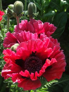 Papaver orientale 'Staten Island' - New York Series Oriental Poppy … Exotic Flowers, Amazing Flowers, Red Flowers, Beautiful Flowers, Arrangements Ikebana, Flower Arrangements, Papaver Orientale, Herbaceous Perennials, Ornamental Grasses