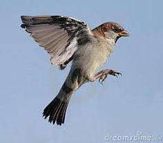 Afbeeldingsresultaat voor sparrow wings