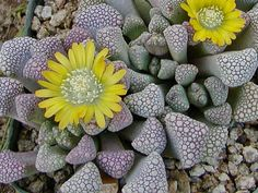 Titanopsis schwantesii grows in small rock-like rosettes. It is a mat forming succulent with rosettes up to 2 inches cm) in diameter. Succulent Bonsai, Succulent Seeds, Cacti And Succulents, Planting Succulents, Garden Plants, House Plants, Blooming Succulents, Ikebana, Cactus E Suculentas