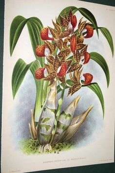 Lindenia Botanical Print Limited Edition Mormodes Igneum Maculatum Orchid B3       $15.31